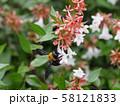 アベリアとクマバチ 58121833
