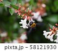 アベリアと羽ばたいているクマバチ 58121930