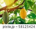 Cacao Tree (Theobroma cacao). Organic cocoa fruit 58125424