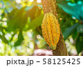Cacao Tree (Theobroma cacao). Organic cocoa fruit 58125425