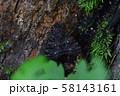 コシロシタバ 58143161