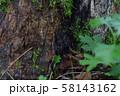 コシロシタバ 58143162
