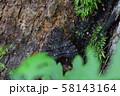 コシロシタバ 58143164
