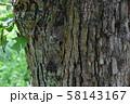 コシロシタバとマメノキシタバ 58143167