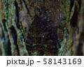 コシロシタバ アップ 58143169