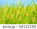 日本の風景「稲穂」 58152288