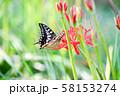 キアゲハと曼珠沙華 58153274