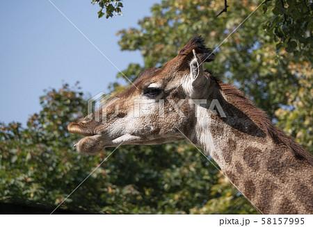Beautiful giraffe stands tall on blue sky 58157995