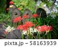 高幡不動尊のヒガンバナ 58163939