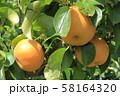 収穫前の梨 58164320