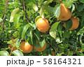収穫前の梨 58164321