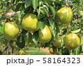 収穫前の洋ナシ 58164323