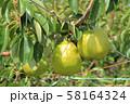収穫前の洋ナシ 58164324