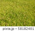 黄金色に実った稲 58182401