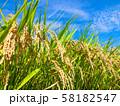 黄金色に実った稲 58182547
