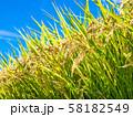 黄金色に実った稲 58182549