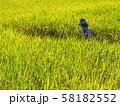 黄金色に実った稲と案山子 58182552