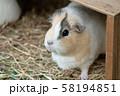 動物園のモルモット 58194851