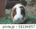 動物園のモルモット 58194857