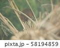 カヤネズミ 58194859