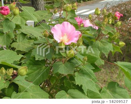 道端に植えられたアメリカフヨの桃色の花 58209527