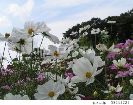 秋の花の代表白色のコスモスの花 58215225
