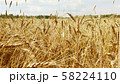ripe wheat stalks swaying in the wind 58224110