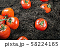 ripe harvest tomatoes on the ground in a vegetable garden 58224165