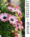 ピンクの花 58231957
