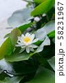 白いスイレン 58231967