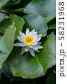 白いスイレン 58231968