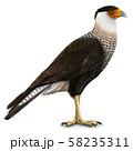 カンムリカラカラ(Northern crested caracara)のイラスト 58235311