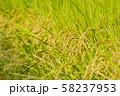 黄金色の稲穂 水田 お米 食べ物 穀物 58237953