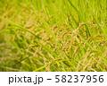 黄金色の稲穂 水田 お米 食べ物 穀物 58237956