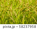 黄金色の稲穂 水田 お米 食べ物 穀物 58237958