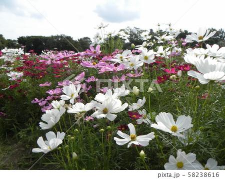 秋を告げる桃色と白い花のコスモスの花 58238616