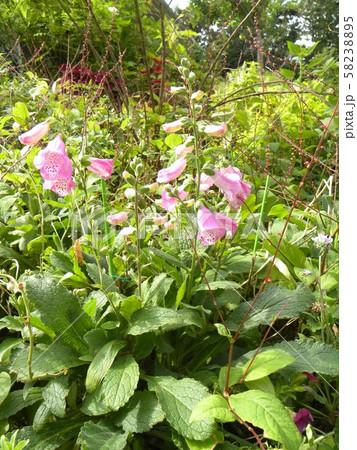 釣鐘草の桃色の花 58238895