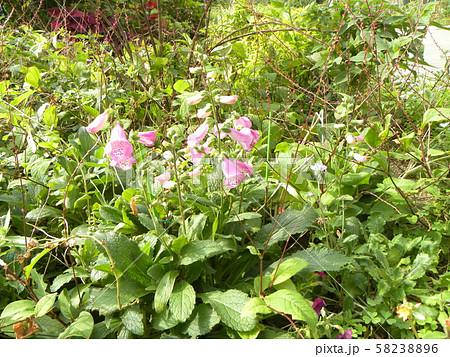 釣鐘草の桃色の花 58238896