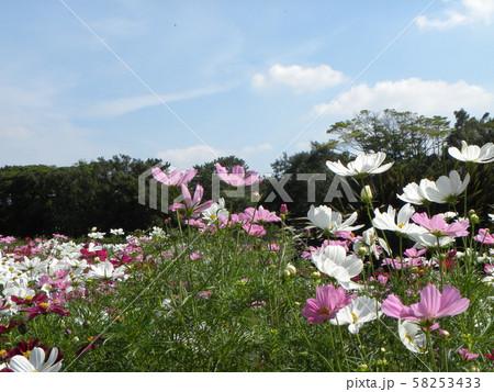 秋の花コスモスの白と桃色の花 58253433