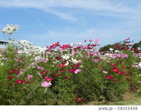 秋の花コスモスの白と桃色の花 58253438