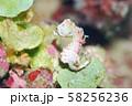 ピグミーシーホース  Hippocampus pontohi 58256236