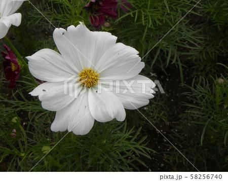 秋の花コスモスの白の花 58256740