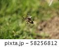 虫を捕獲したナガコガネグモ 58256812