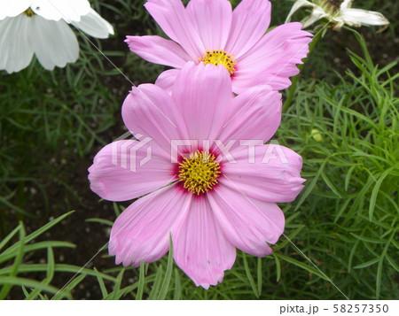 秋の花コスモスの桃色花 58257350