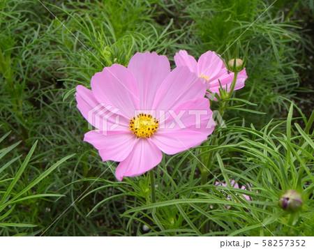 秋の花コスモスの桃色の花 58257352