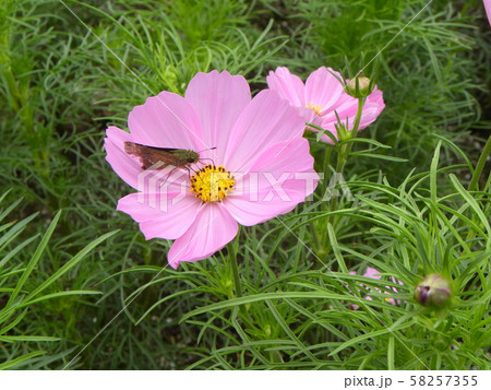 秋の花コスモスの桃色の花 58257355