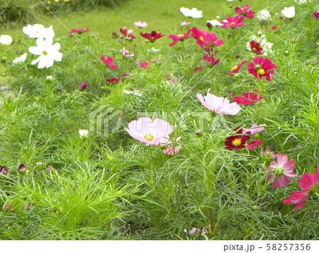 秋の花コスモスの白と赤色の花 58257356