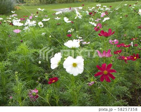 秋の花コスモスの白と赤色の花 58257358