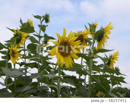 夏の花といえば黄色いヒマワリ 58257451