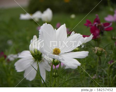 秋の花コスモスの白い花 58257452